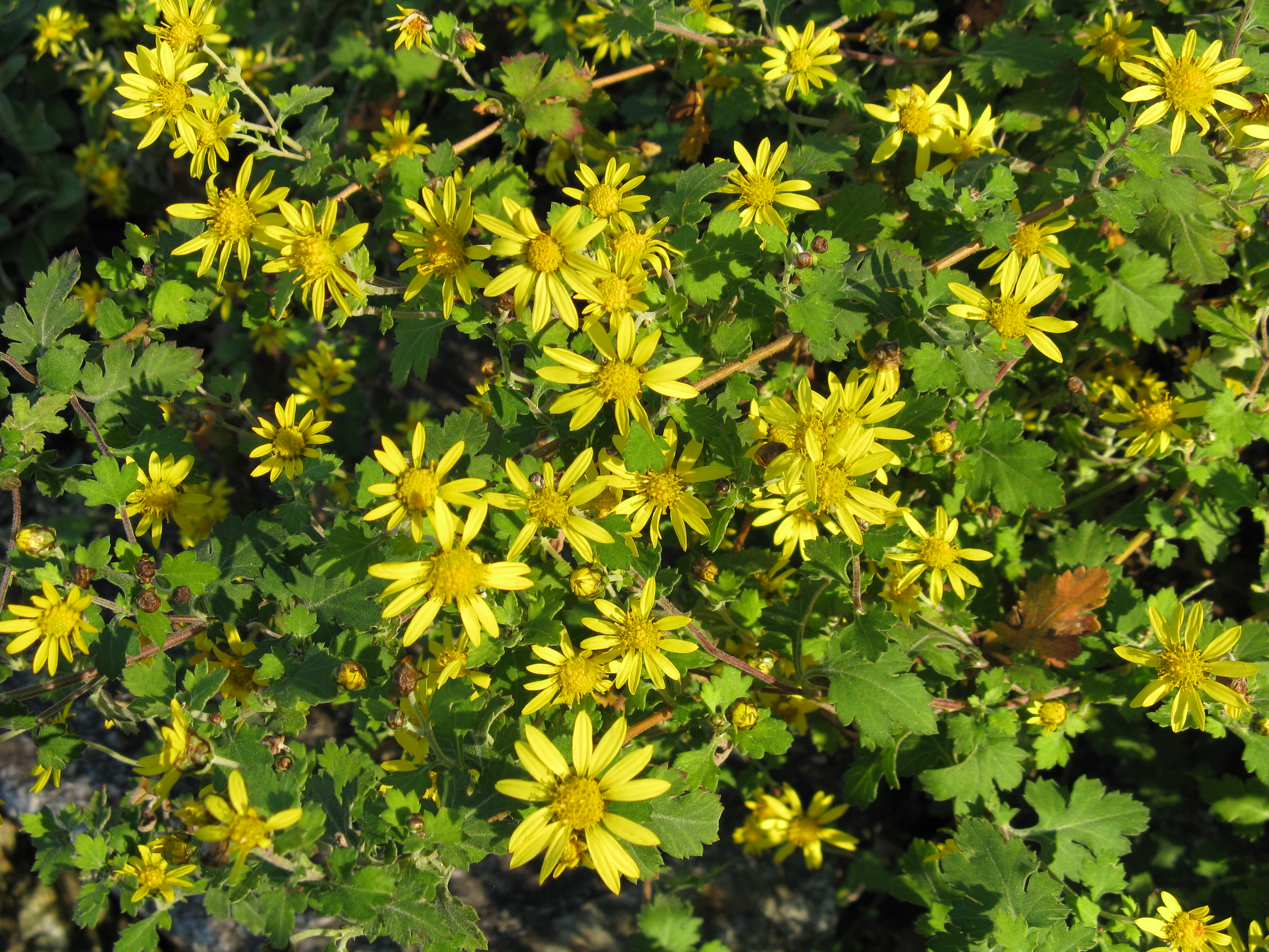 Резултат с изображение за Chrysanthellum билка